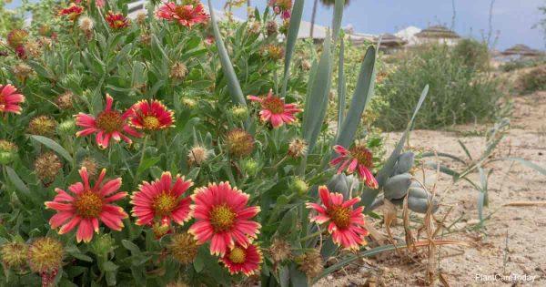 Annuals Gallardia flower blooming near ocean