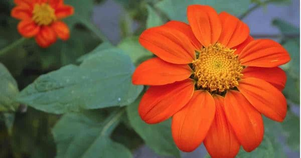 Bright Orange Tithonia (Mexican Sunflower)