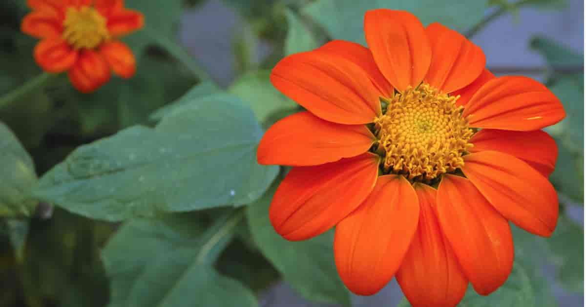 Orange Mexican Tithonia Sunflower