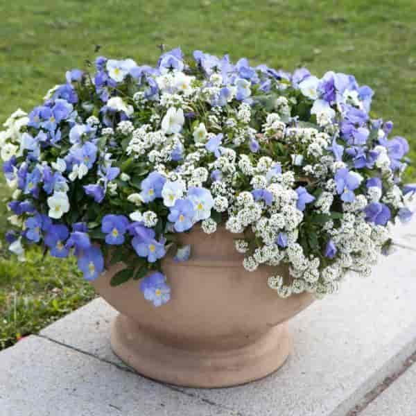 fragrant Sweet Alyssum planted with Pansies