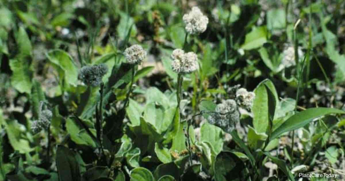 Flowering Antennaria Plantaginifolia (Pussytoes)