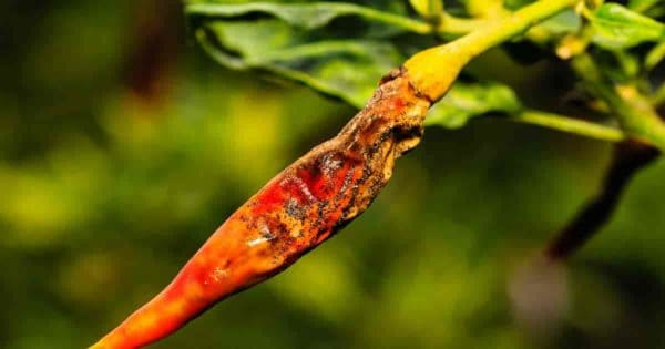 Anthracnose fungal disease on chili pepper