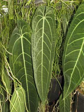 anthurium-warocqueanum