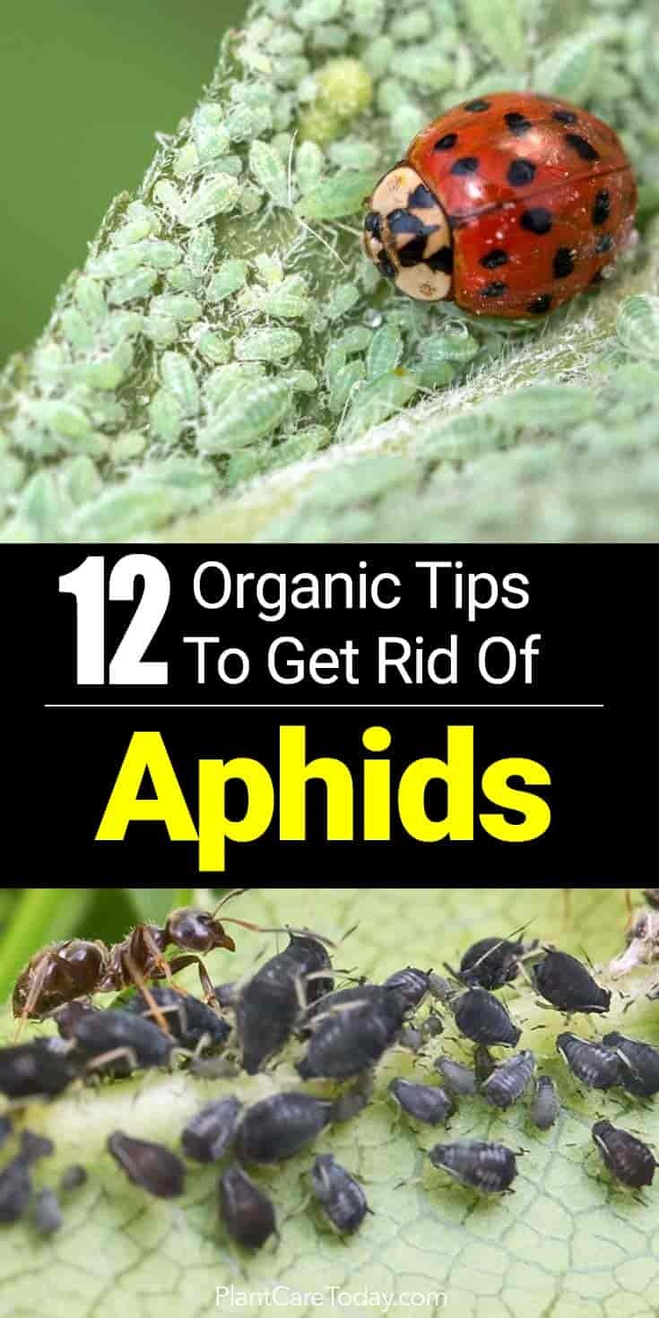 Aphids or plant lice, are pesky critters who love to feast on hibiscus, tomatoes, peppers and other plants the garden landscape - Discover Natural Controls