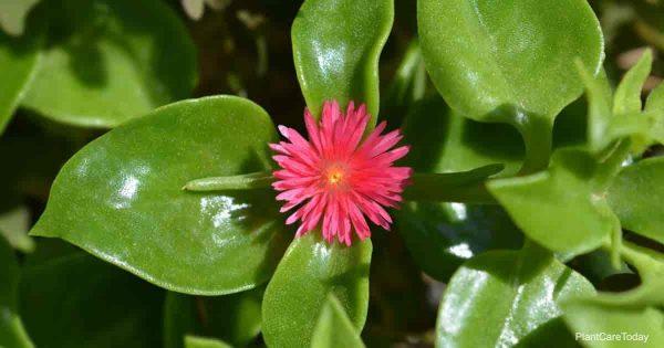Bloom of the Aptenia cordifolia - baby sun rose