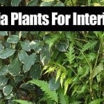 Aralia Plants For Interiors