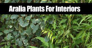 different foliage of Aralia plants