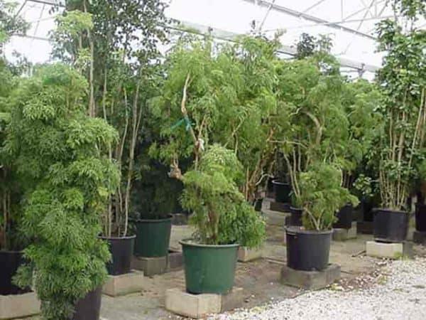 specimen Aralia plants