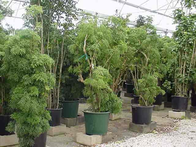 Aralia plants assorted grown for indoor use as houseplants and office plants