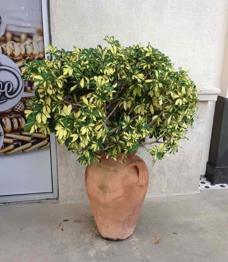 schefflera arboricola - Dwarf umbrella tree