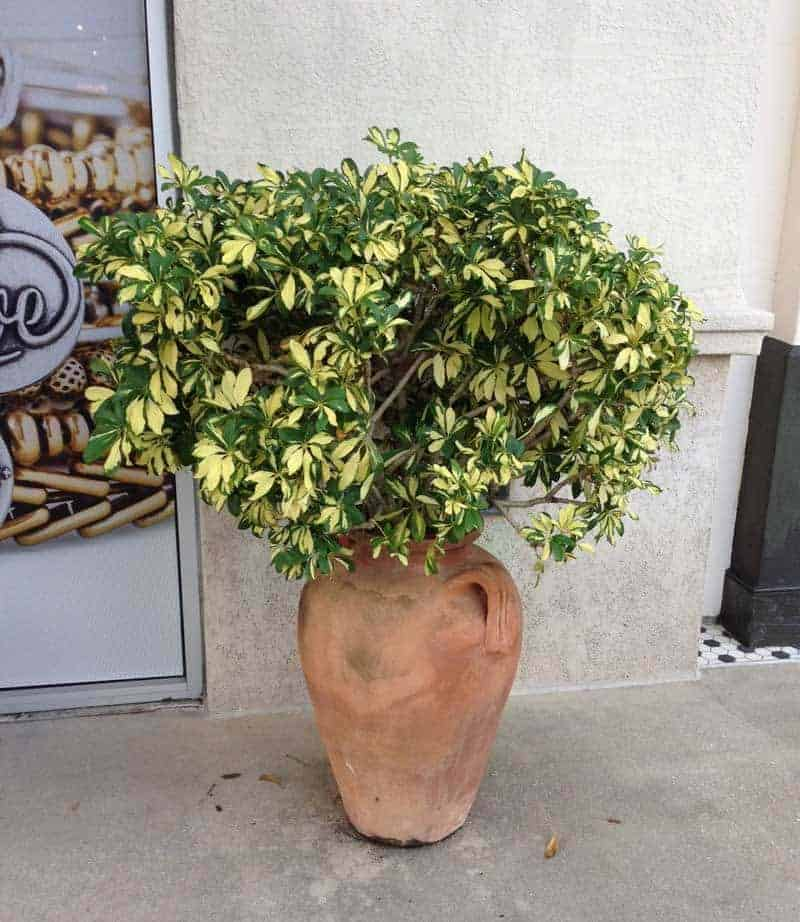 Dwarf Variegated Arboricola Bush Growing In Vase Schefflera