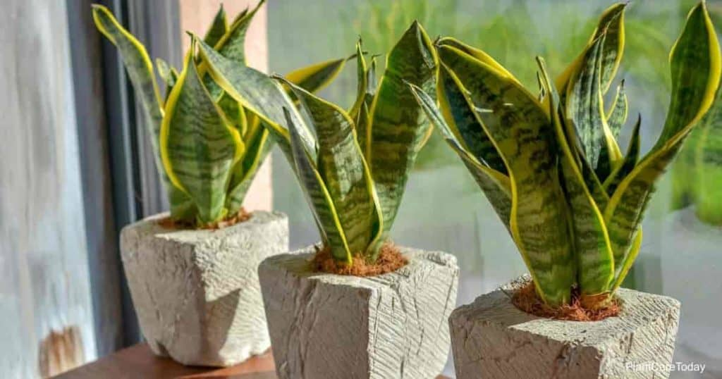 Sansevieria plants growing on a windowsill