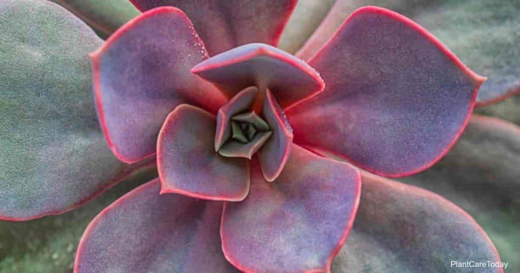 Succulent Echeveria not poisonous to dogs