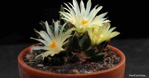 bloomng potted ariocarous