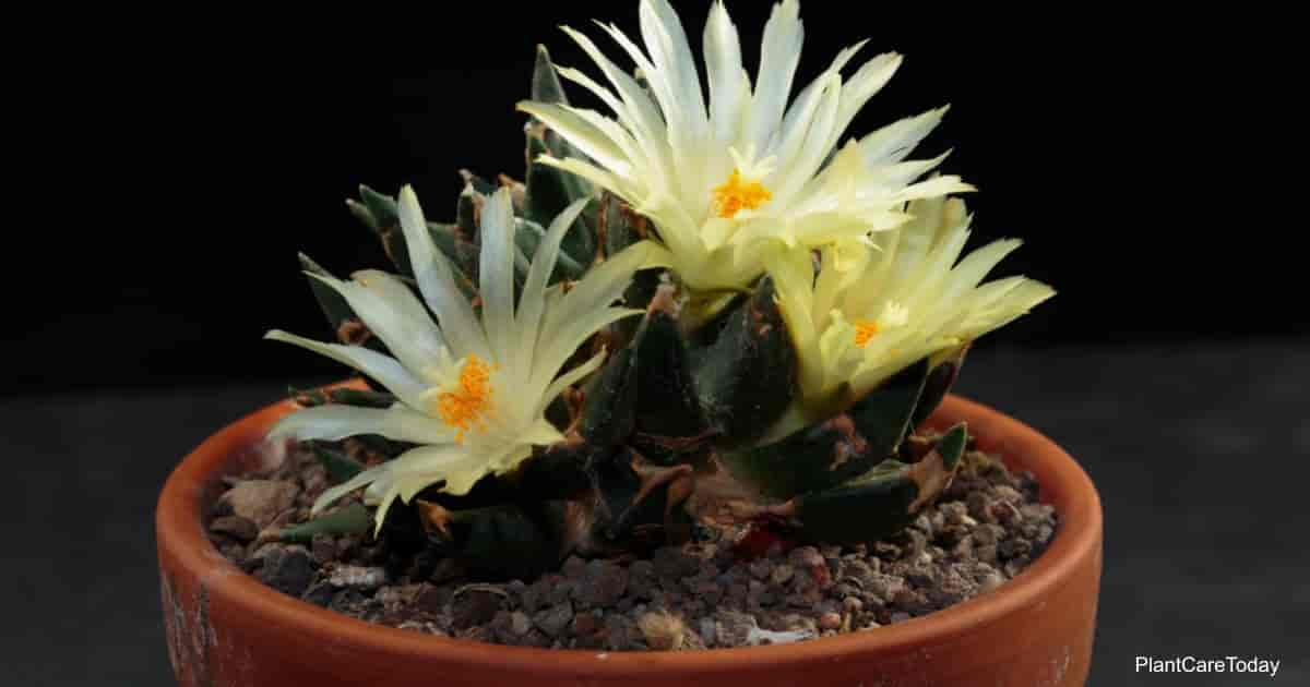 Flowering potted ariocarous