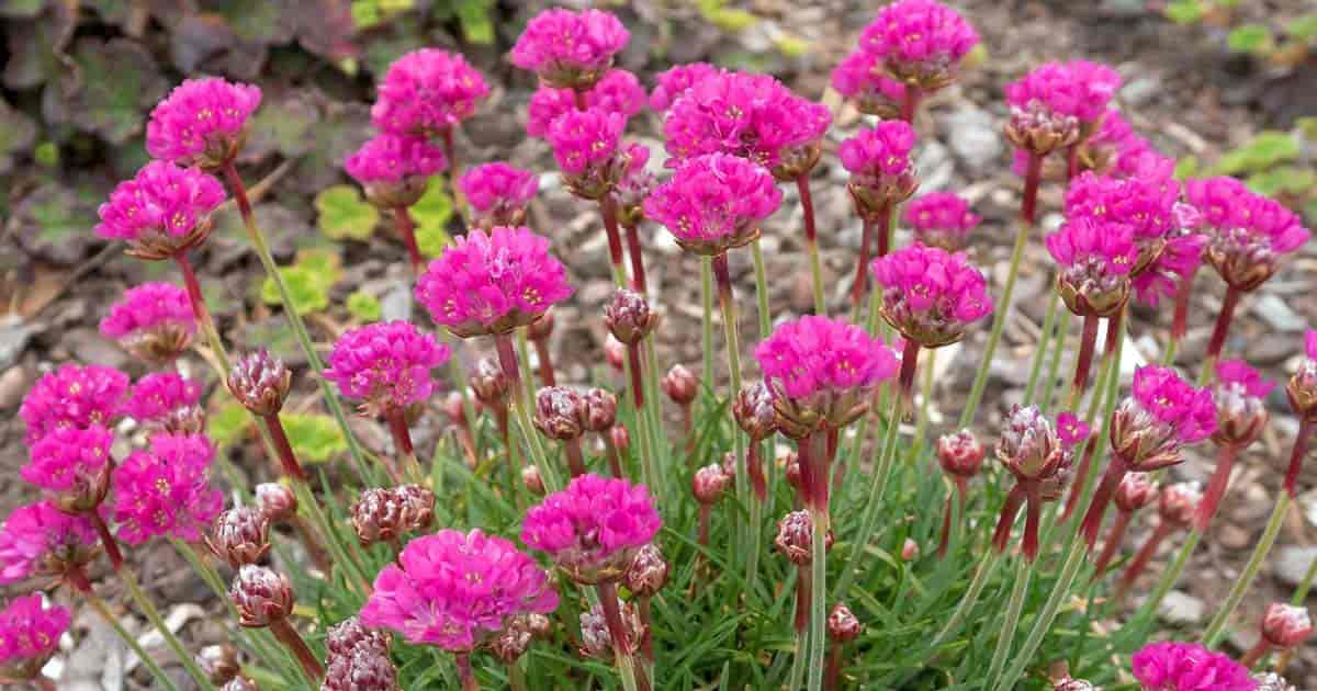 Growing Sea Thrift Plants: How To Care For Armeria Maritima