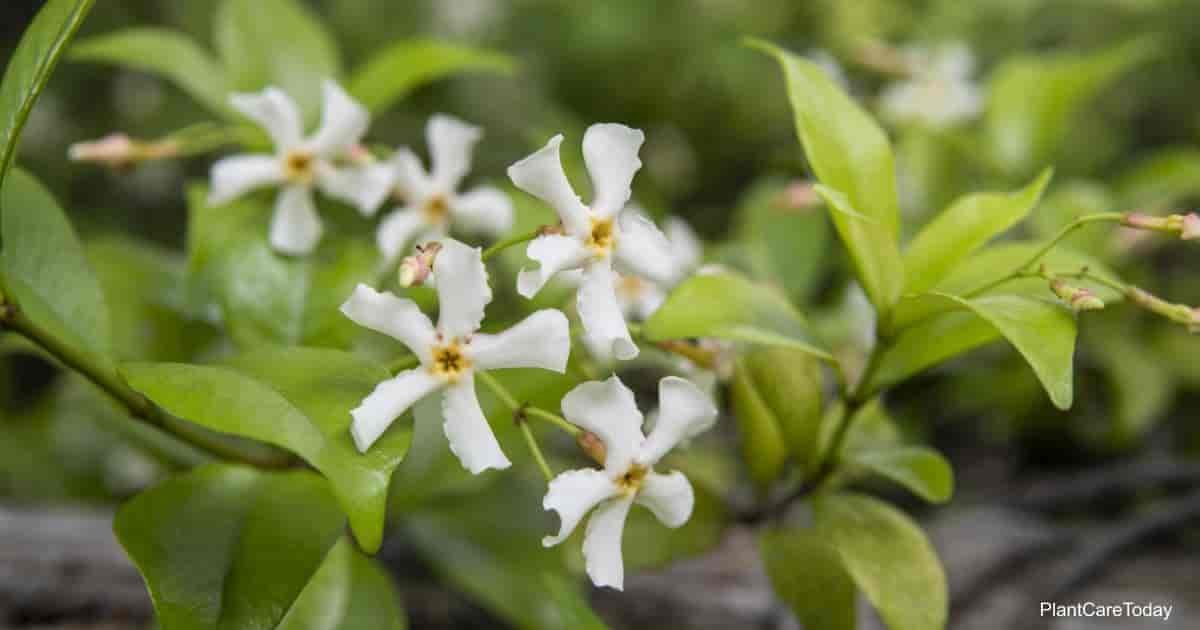 Asiatic Jasmine blooms