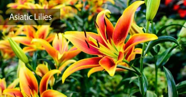 Colorful blooms of the Asiatic Lily