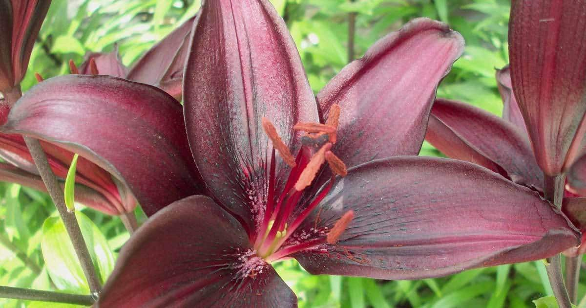 Dark flower of a hybrid asiatic lily