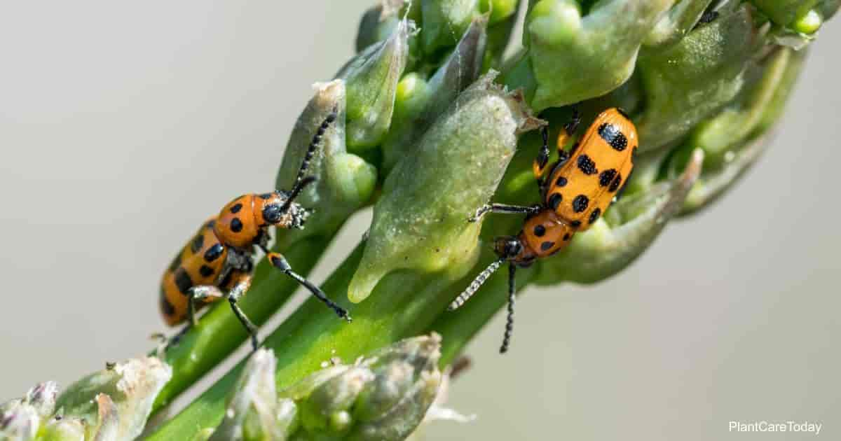 Asparagus Beetle having lunch - Learn Control Tips