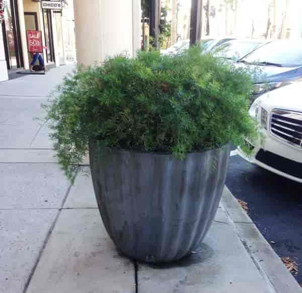 Potted Asparagus serengeti fern in large container - St John's Towne Center - Jacksonville, Florida