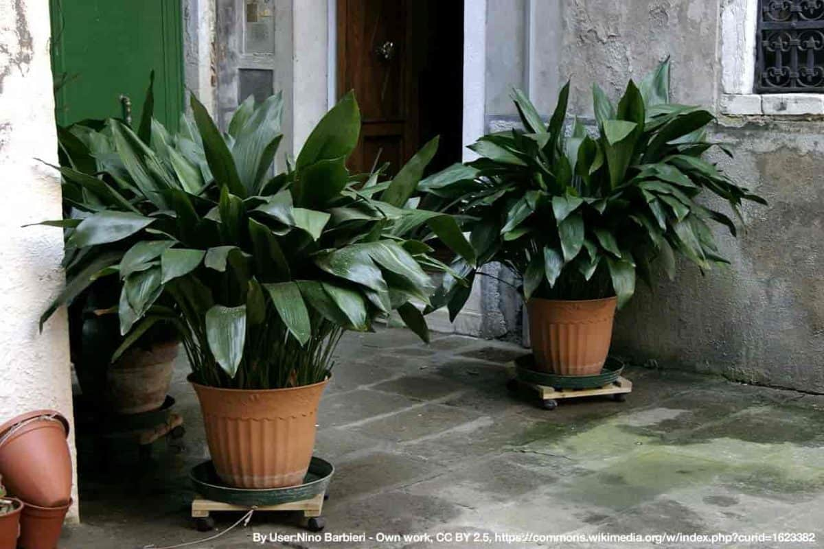 aspidistra - cast iron plant at front entry