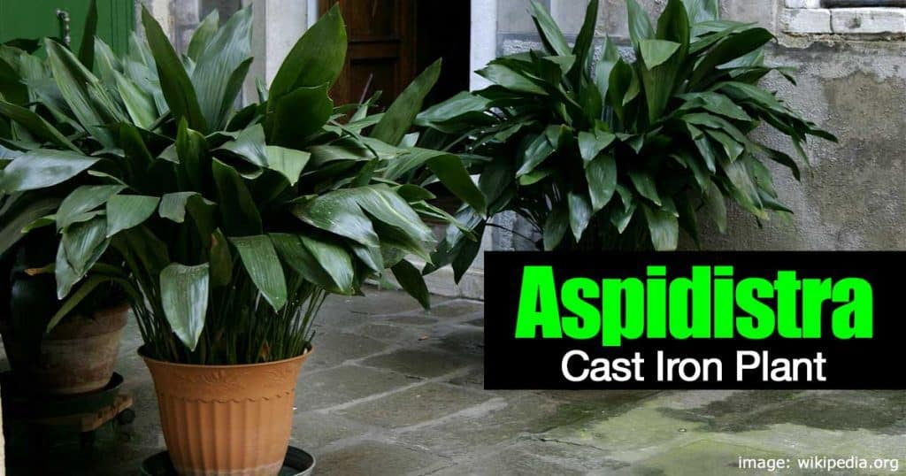 Aspidistra elatior aka cast iron plant potted at front entry