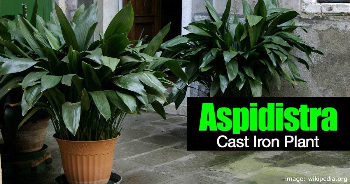 How To Care For The Cast Iron Plant Aspidistra Elatior