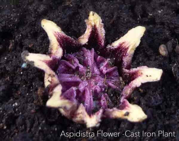 Flower of cast iron plant - Aspidistra elatior