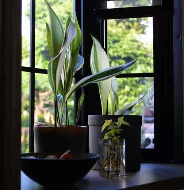 variegated form of Aspidistra elatior