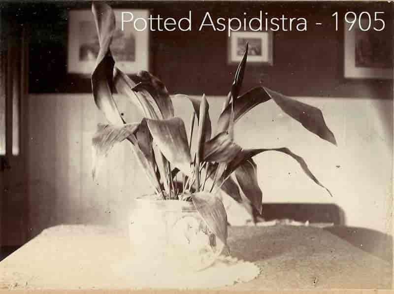 potted aspidistra in 1905