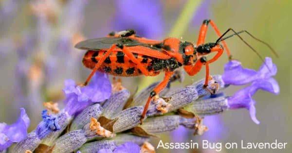 Assassin bug crawling on leaf