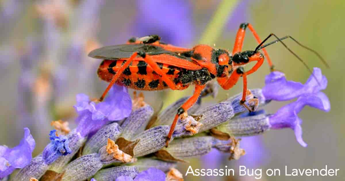 one of the bright colored types of assassin bugs