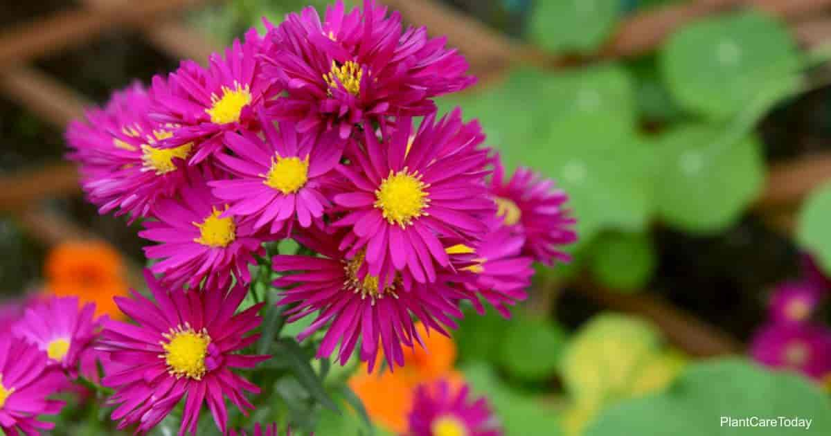 Flowering Michaelmas Daisy