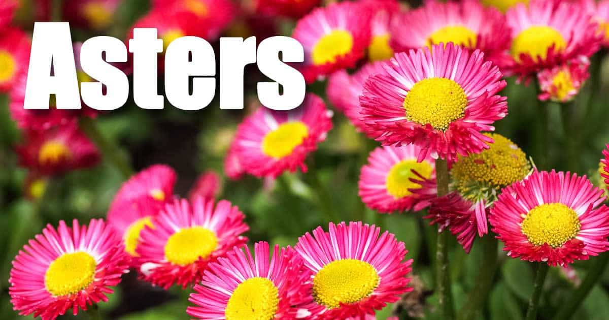 flowering asters growing