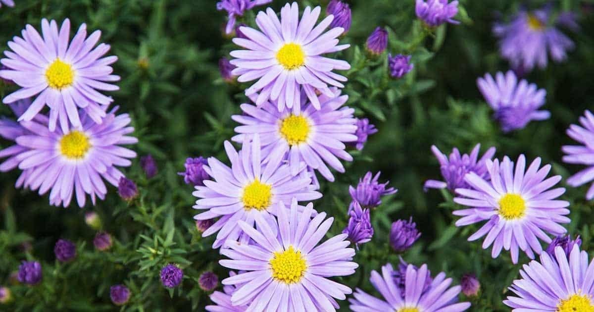 asters-summer-flowers-03312016