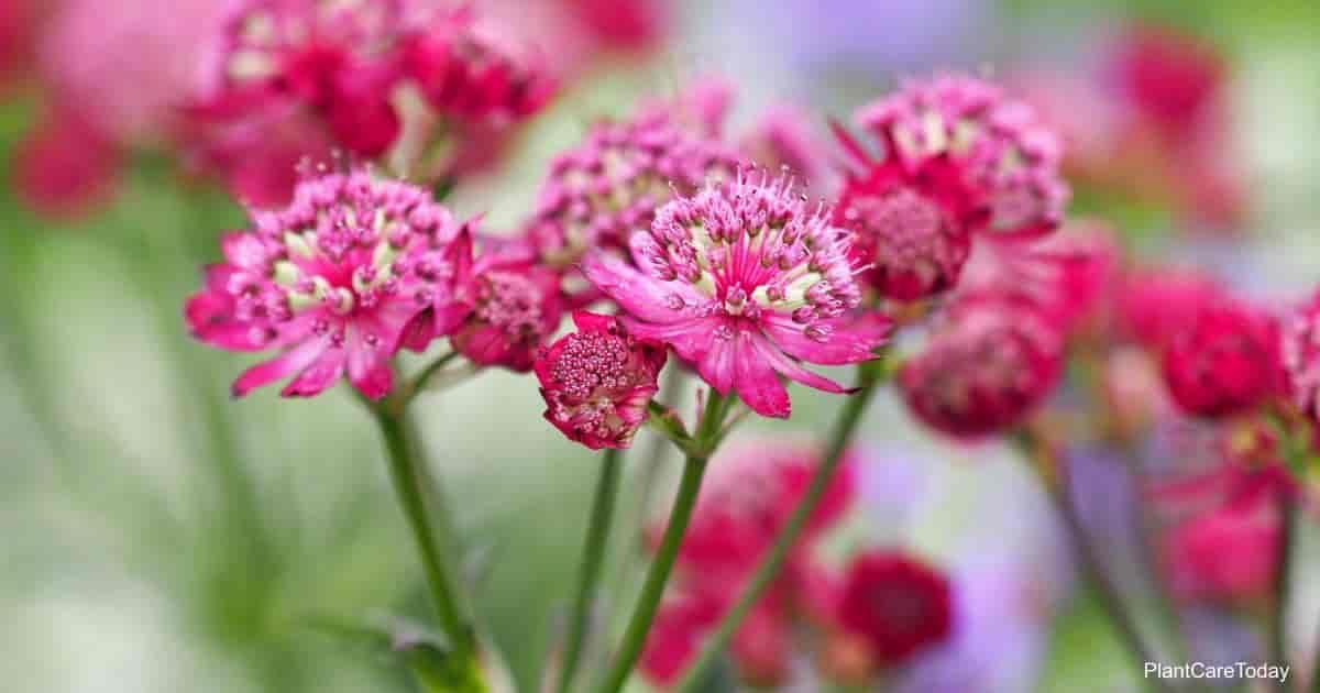 flowering Astrantia Masterwort