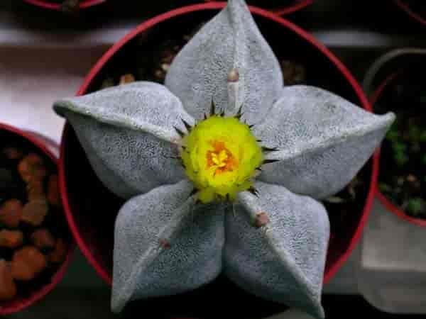 Start shaped Astrophytum cactus