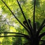 Dicksonia Antarctica Care: Learning To Grow Tasmanian Tree Fern