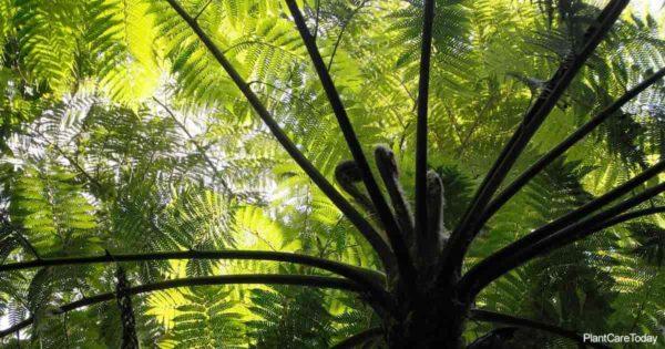 under the canopy of the Tasmanian Tree Fern - Dicksonia Antarctica