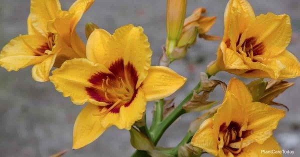 yellow blooming daylily
