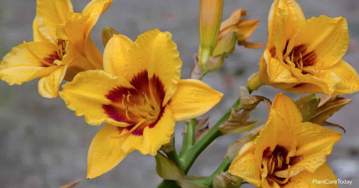 yellow blooming daylily