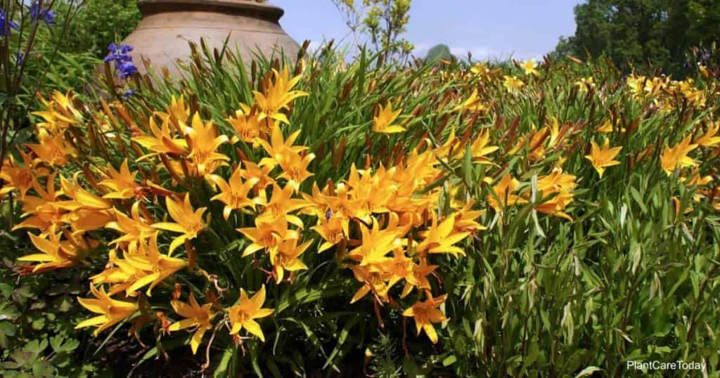 group of blooming daylilies