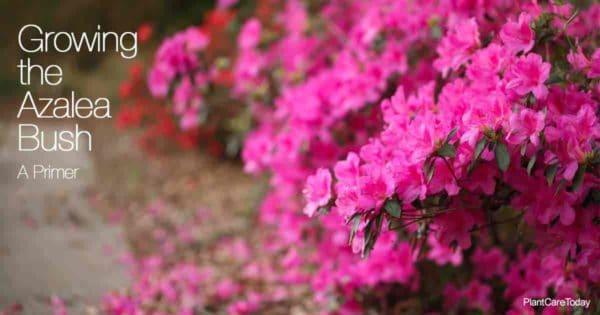Blooming azalea bush along a pathway