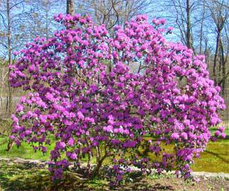 purple blooms on an Azalea bush