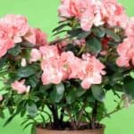 Learn How To Plant Azalea Bushes