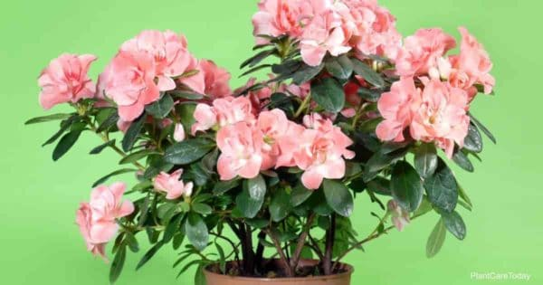 blooming Azaleas we share how to Plant Azaleas