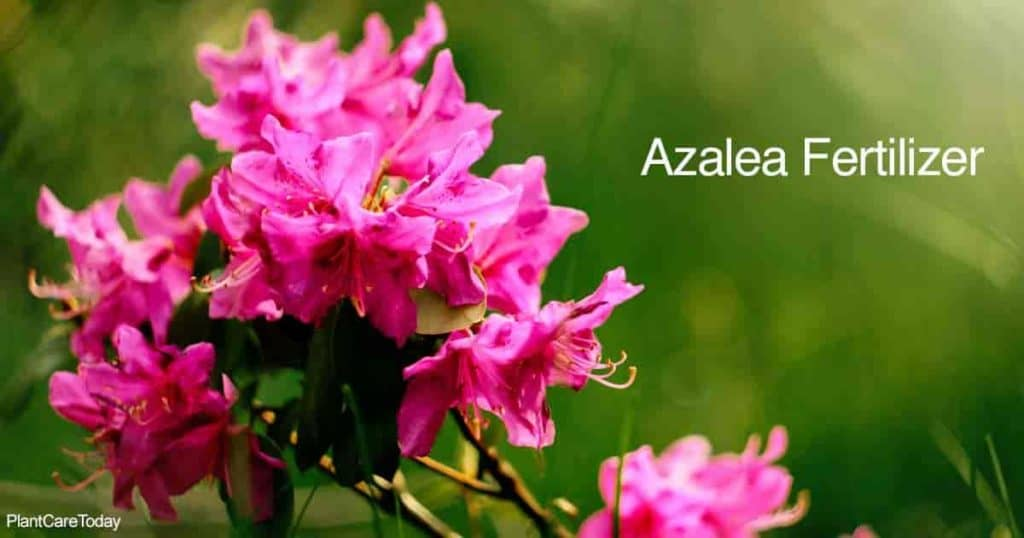 Blooming Azalea with lots of flowers