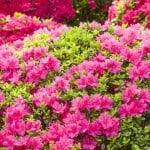 Growing The Azalea Plant: How To Care For The Azalea Flower