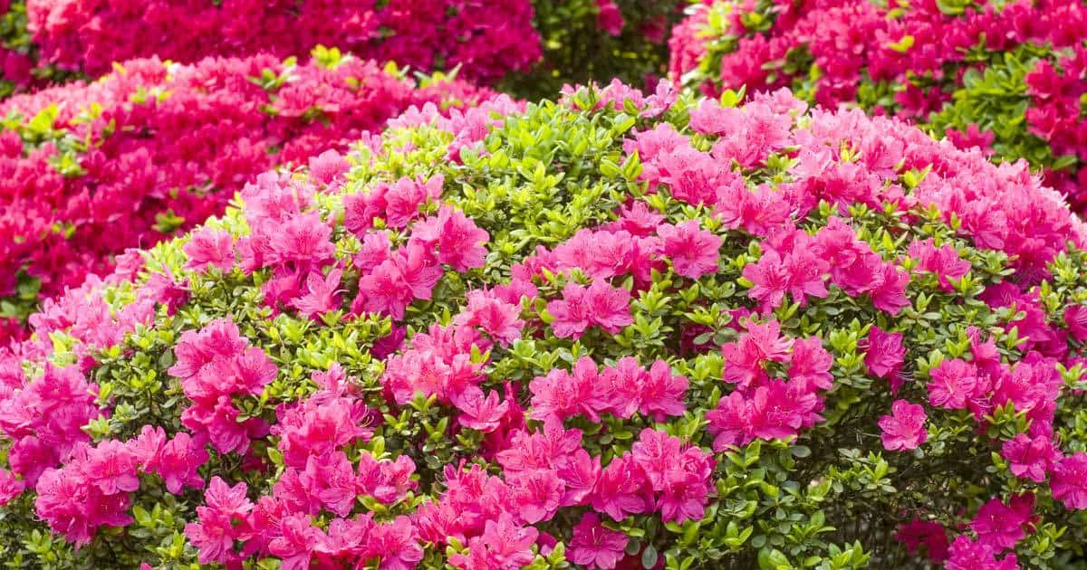 Growing The Azalea Plant How To Care